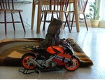 Humor Honda RCV MotoGP Models, Meet Repsol's newest rider!!  I think the rear suspension may need to be stiffened up though (body work is already on the ground!) Cheers!